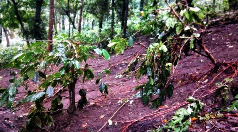 ಸೋಮವಾರಪೇಟೆ:ಕಾಫಿ ಗಿಡಗಳಿಗೆ ಭಾರಿ ಹಾನಿ