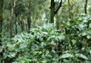 Heavy Rainfall damages 70% Coffee in Karnataka