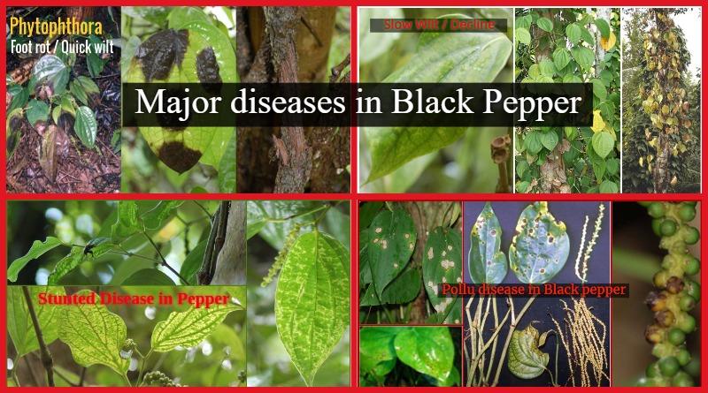 Major diseases in Black Pepper