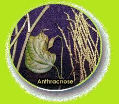 Anthracnose
